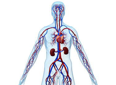 Photo of body showing vascular system
